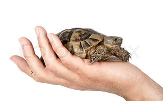 Pet tortoise in hand
