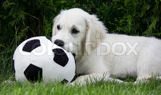 Golden Retriever Puppy playing with a football