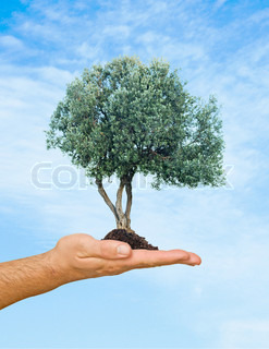 Olive tree in palm as a symbol of nature protection