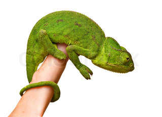 Close up of chameleon sitting onfingers