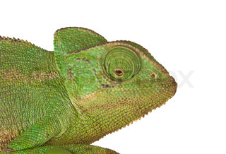 Head of chameleon