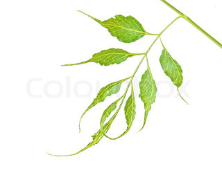 Branch isolated on white background