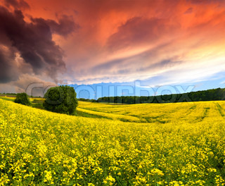 Dramatic Summer Landscape with a field of yellow flowers Sunset