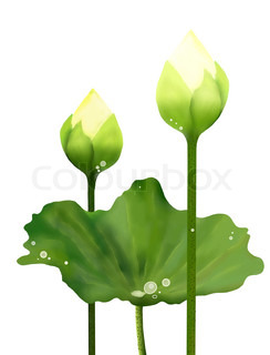 Fresh White Lotus Flowers and Leaf on White Background