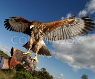 Bild von 'Falke, Adler, Person'