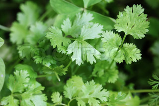 Fresh organically grown cilantro or coriandercoriandrum sativum leaves