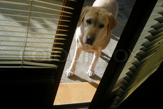 Labrador dog looking at you through open door