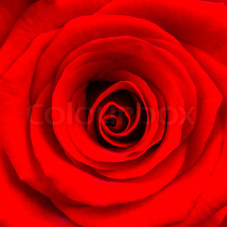 Close-up of a bright red rose