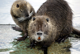 Two nutria rats in water