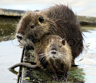 Close-up of two nutria rats