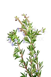 Flowering rosemary bush
