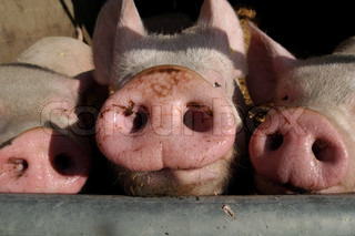 Billede af 'grise, svin, tryne'