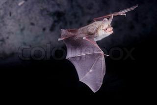 Billede af 'dyr, flagermus, flyvende'