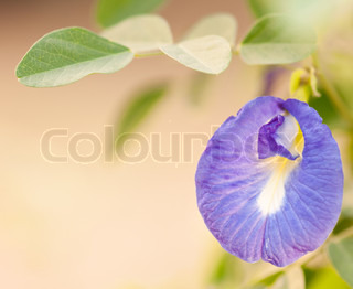 violet asian pigeonwings flower
