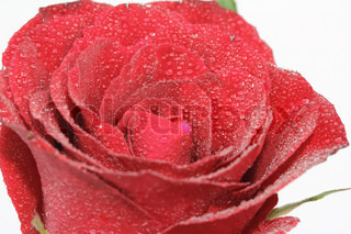 Red rose with drop of water