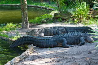 Together. Two crocodiles resting on waterside