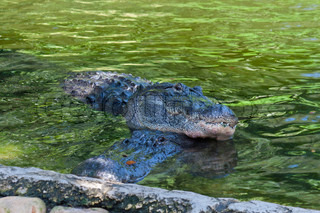 Together Two crocodiles resting in water