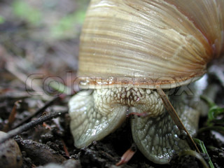 Image of 'herbivore, animals, helix pomatia'