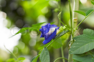 Clitoria ternatea also known as the Butterfly Pea Flower