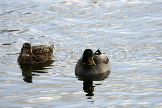 Male and female mallard ducks floating on water