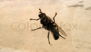 Image of 'insect, animal, fly'