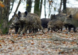Wild boars rearing in the farm
