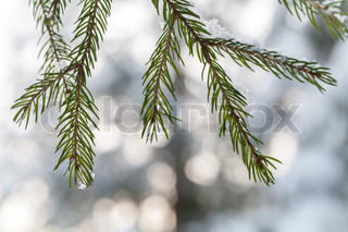 Fir tree branches with snowflakesand frozen water drops on it