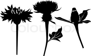 milk Thistle flower plant isolated on white background