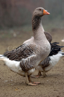 Image of 'geese, outdoors, outside'