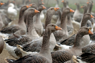 View of geese