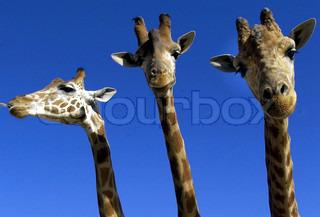Billede af 'giraf, dyr, close-'