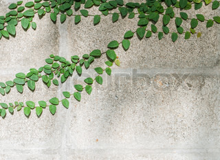 The Green Creeper Plant on a White Wall Creates a Beautiful Background