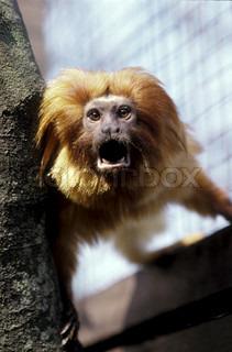 Image of 'wildlife, mammal, lion tamarin'