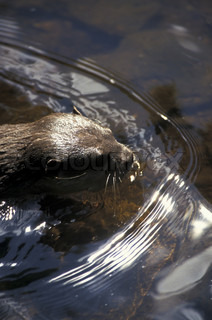 Image of 'mammal, wilderness, otters'