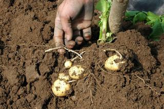 Billede af 'kartofler, hånd, landbruget'
