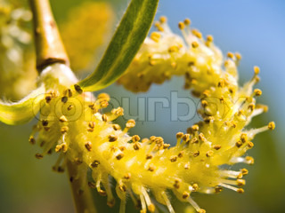 Weeping willow seeds in the spring time