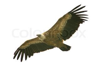 Billede af 'ørne, dyr, eagle'