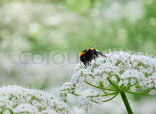 Single honeybee sitting on white flowers in the garden