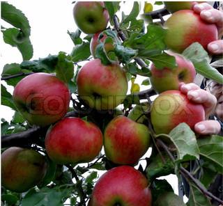 Billede af 'æbletræ, æbletræer, Plant'