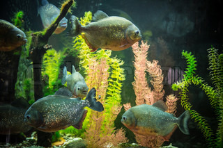 Shoal of tropical piranha fishes in freshwater aquarium