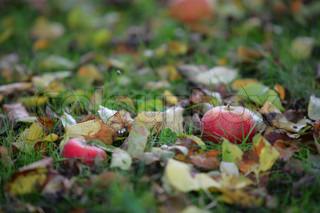 Nærbillede af en skovbund med æbler
