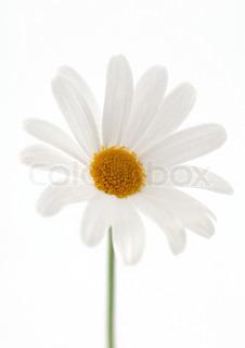 Billede af 'marguerite, daisy, botaniske'