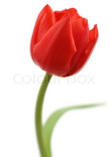 Billede af 'tulipan, blomst, tulip'