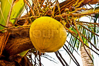 The Old coconut oncoconut tree
