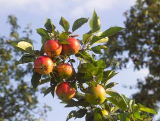 Billede af 'æbler, frugt, træ'