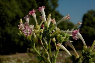 Billede af 'tobaksplante, tobaksplanten, planter'