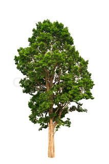 Tropisk træ på hvid baggrund