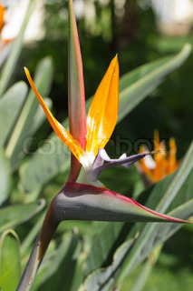 Bird of Paradise, Strelitziaceae, flower against a blurred background with waterdrops on the petals