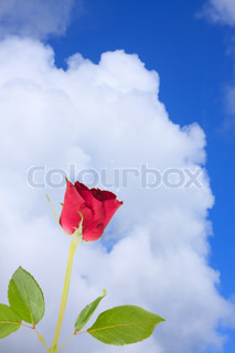 red rose with blue sky background