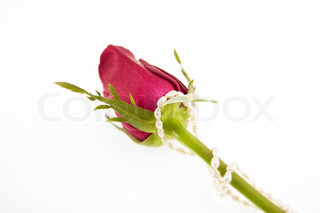 red rose and pearl decoration isolated on white background